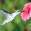 34 hummingbird_BIG