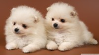 pomeranian_puppies-wallpaper-1920x1080