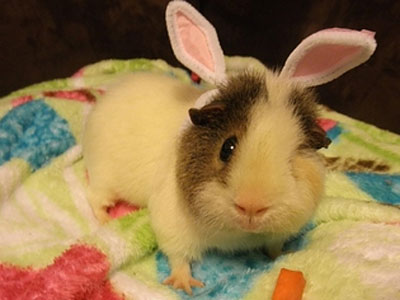 animals-wearing-bunny-ears-guinea-pig