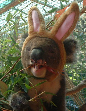 animals-wearing-bunny-ears-koala