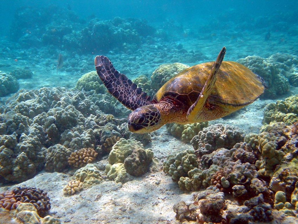 Hawaii_turtle_2